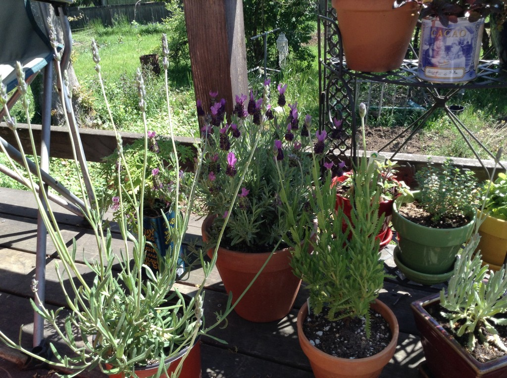Four of my seven lavenders.