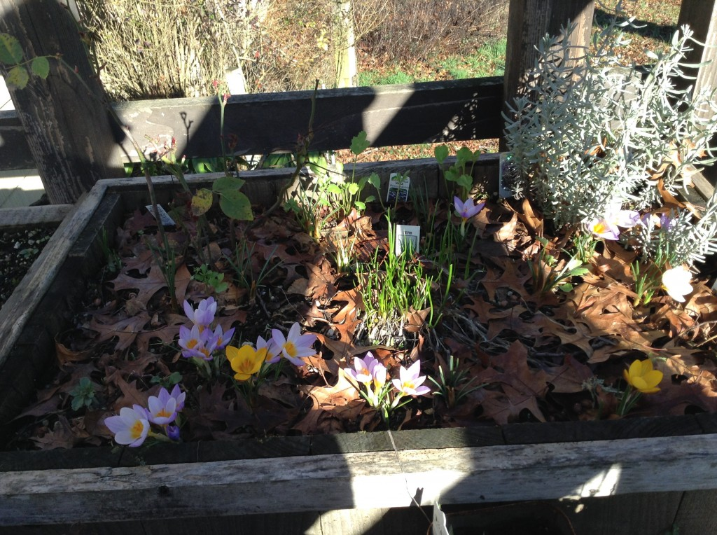 Crocuses, 25 January.