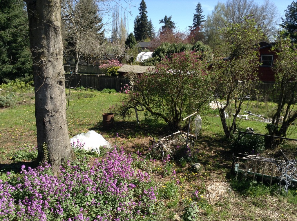 Tulip magnolia (left) and lilac in the downbelow, 30 March. Poor things would appreciate pruning. I don't know what the purple masses in the left foreground are but they're certainly cheerful.