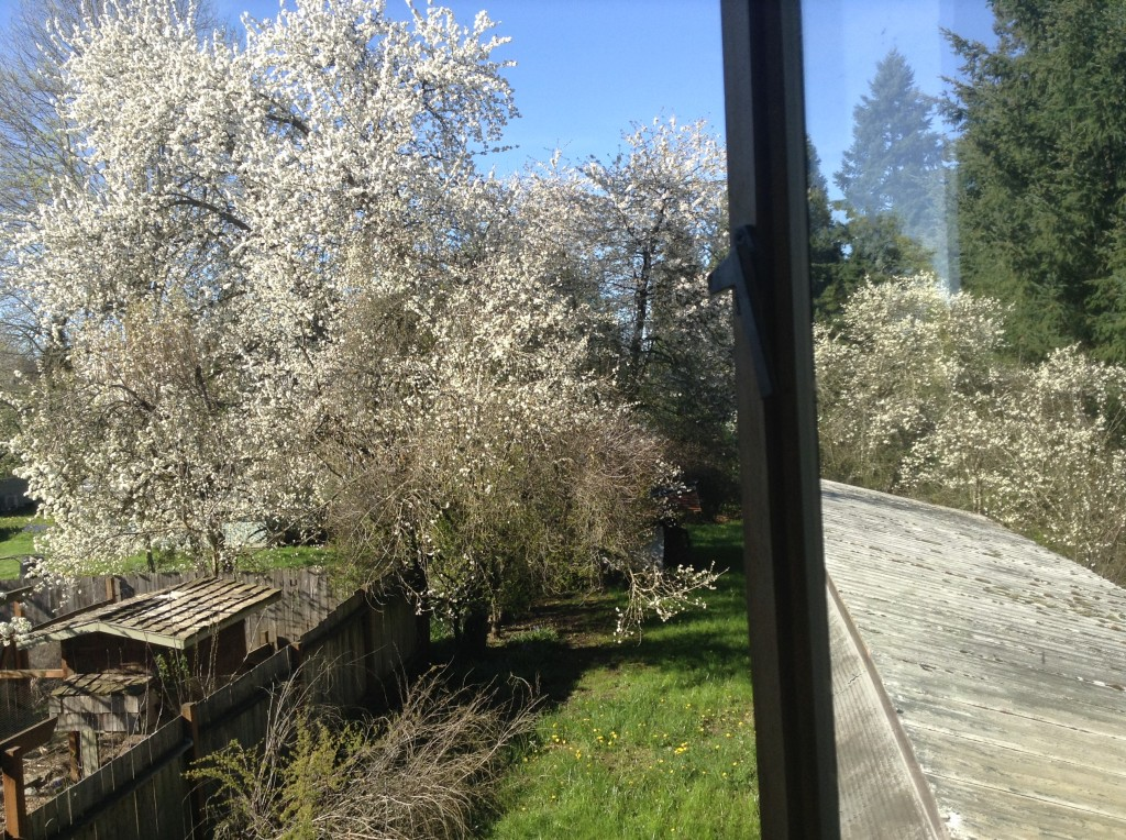 Flowering plum trees out the bedroom window, 31 March. Tasty plums, too.