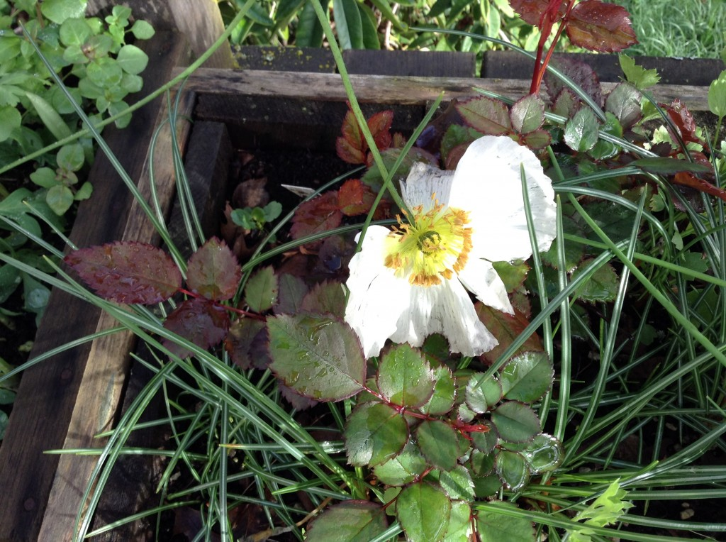 Iceland poppy (rather storm tossed), 16 March. I sowed the seeds last spring but nothing ever came up, saddening me. Then, when I was cleaning out that box in the fall I discovered two sprouts and decided to see if they'd make it through the winter. As you see, they did.